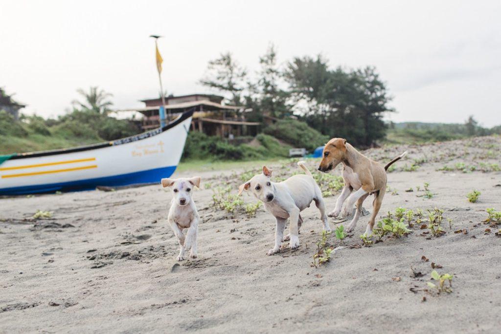 Foto von Hunden am Strand von Goa | Foto: Hanna Witte