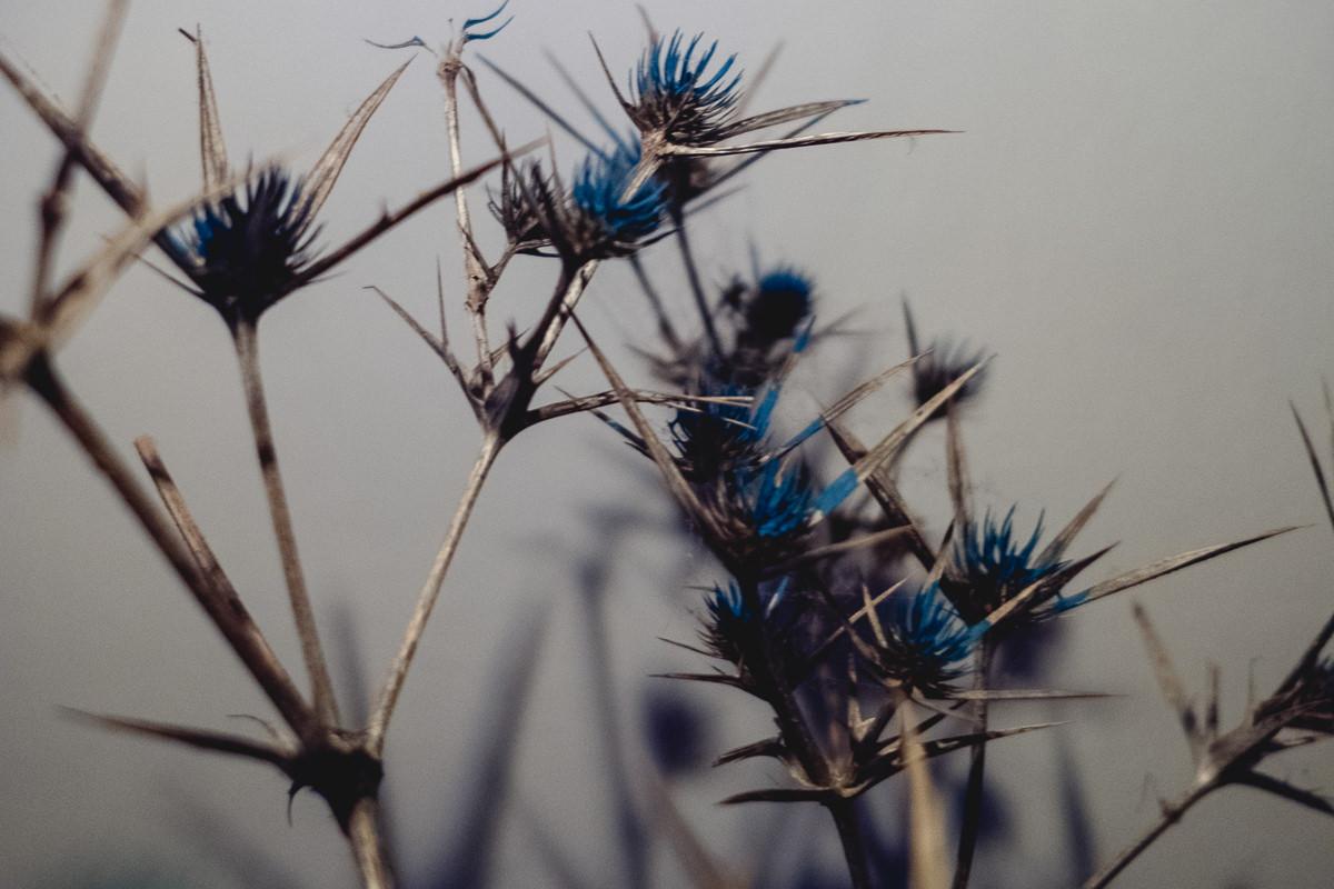 blaue Disteln auf Kreta | Foto: Hanna Witte