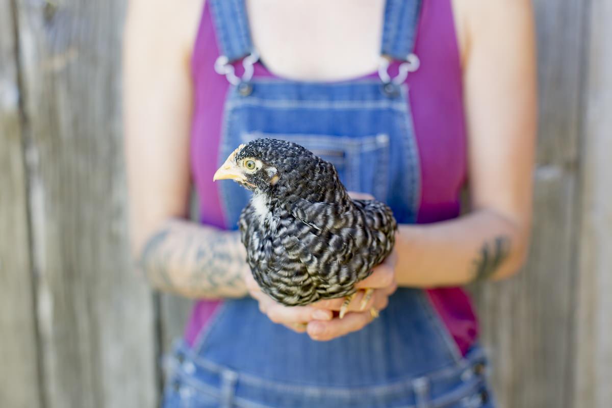 schwarzes Huhn einer Farm in Kanada