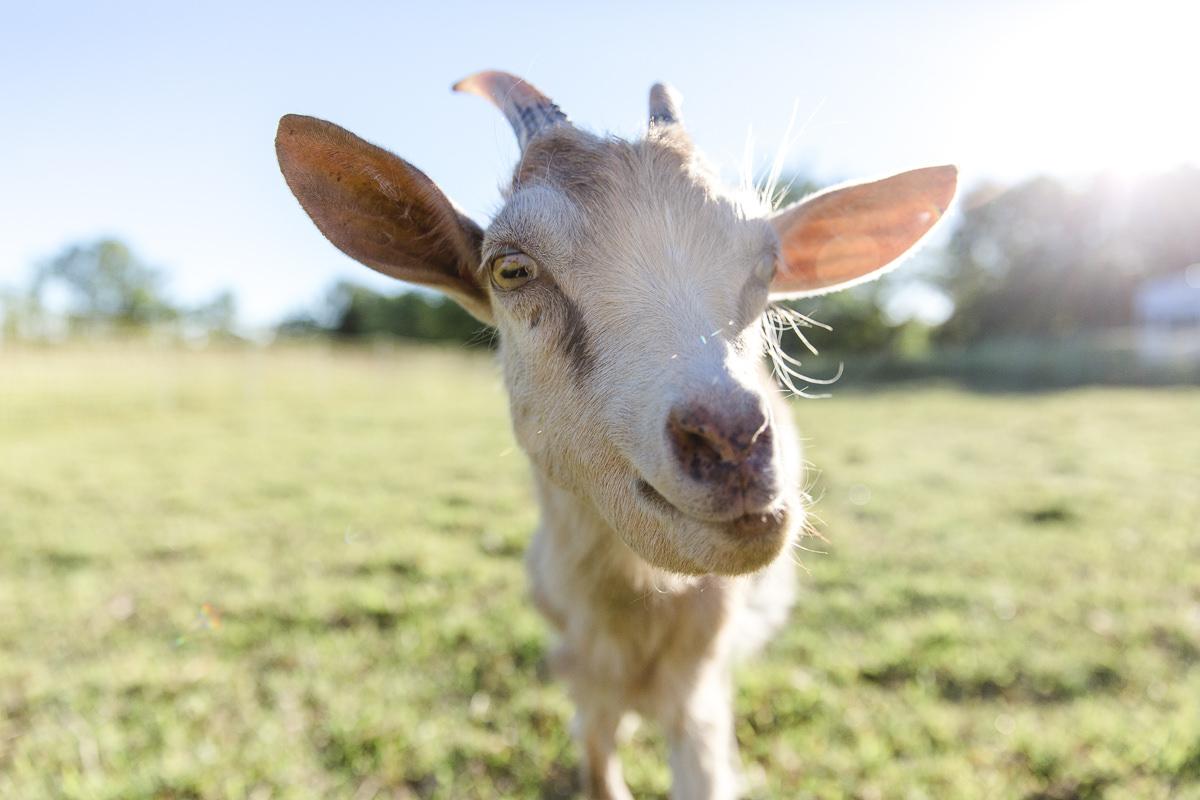 Bild einer Ziege für die Fotoreportage back to the land in Kanada