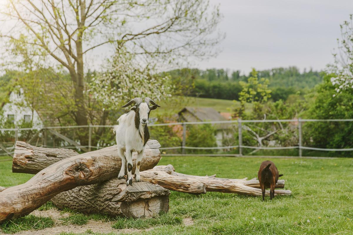 Tierfotografie von Ziegen auf einer Wiese des Kinderhotels Ottonenhof im Sauerland | Foto: Hanna Witte