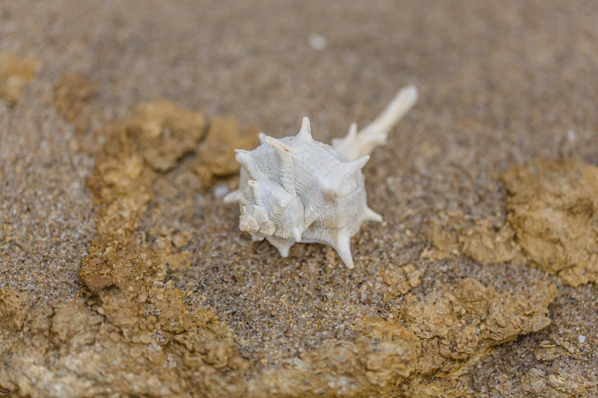 Naturfoto von einer besonderen weißen Muschel am Strand von Portugal | Foto von Hanna Witte