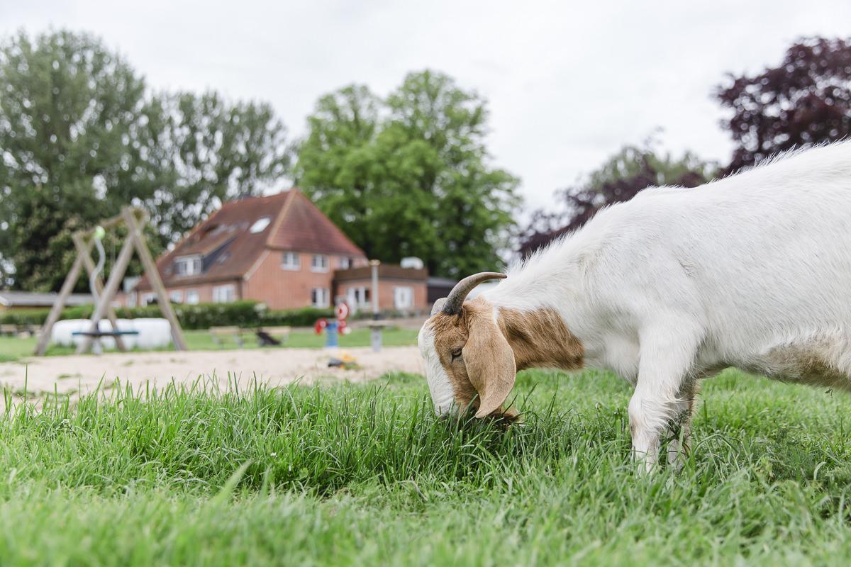 Foto von einer Ziege beim Gras fressen auf dem Ferienhof Bauer Martin in Schleswig-Holstein | Foto: Hanna Witte