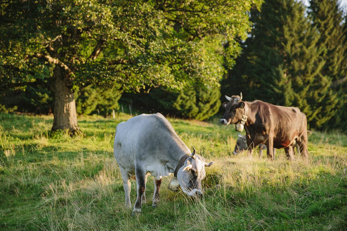 Kühe auf einer Wiese im Allgäu | Foto: Hanna Witte