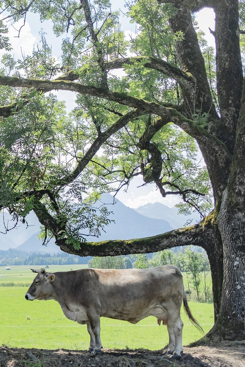 eine Kuh steht unter einem Baum im Allgäu | Foto: Hanna Witte